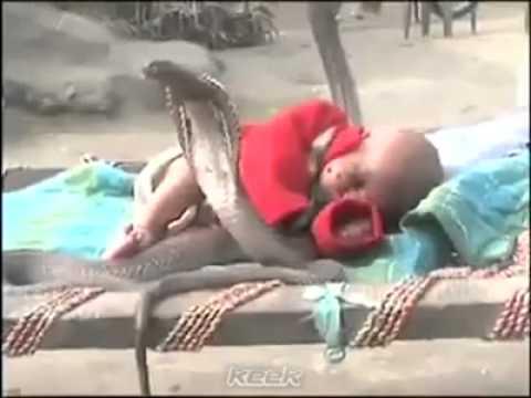 Cobras protect sleeping baby