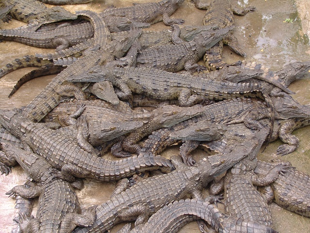 Woman Eaten Alive By 1,000 Crocodiles  411vibes