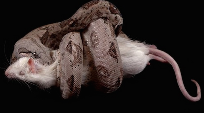 10 interesting facts about snakes that you never knew (+Pics) 700x390 theinfong.com