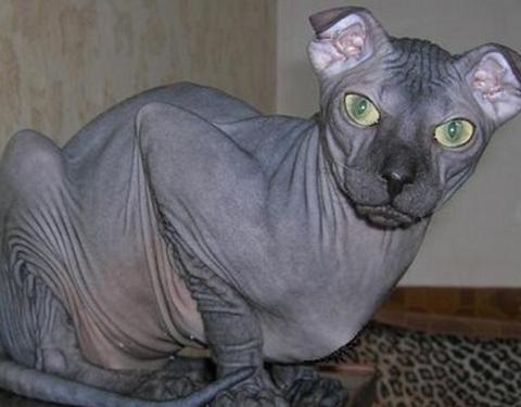 most bizarre cat breeds 700x463 theinfong.com