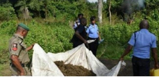 police-destroys-4-indian-hemp-farm-in-osun