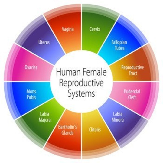 Scheme-Of-Female-Reproductive-System-TheinfoNG